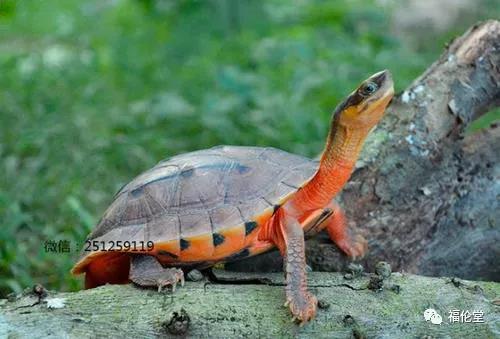 福伦堂乌龟6